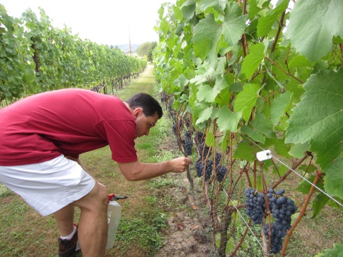 Dave chooses a cluster of Pommard grapes for testing.