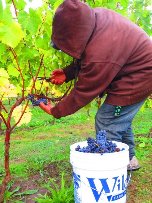 Fred Robinson said the crew was in his vineyard right at the crack of dawn. It was chilly.
