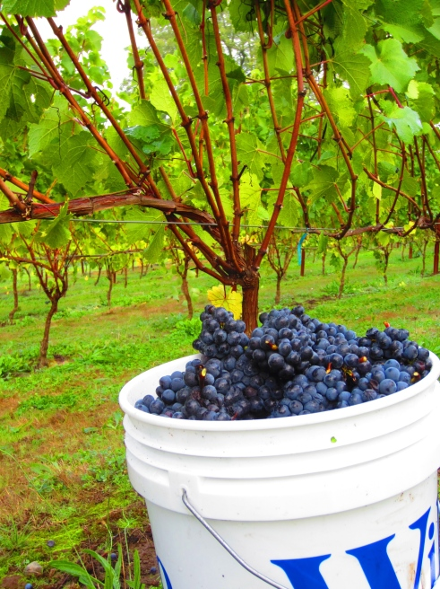 Bucket 'o Pommard clone Pinot Noir, freshly-picked.