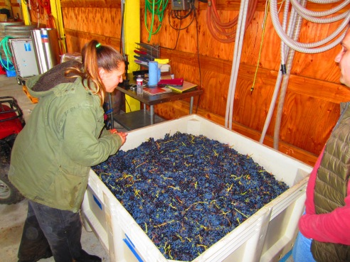 "Erica, the ""E"" in ADEA Winery and winemaking expert weighs in the syrah grapes upon delivery and inspects the quality of the fruit."