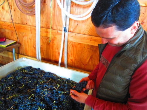 Dave gets a closer look at the syrah clusters.
